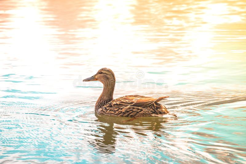 Duck swimming in the lake royalty free stock photo