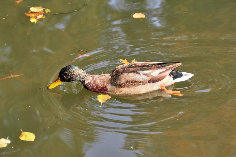 Duck swimming in the lake. Bird with bright multi-colored feathers. Duck with a beautiful color floats on water. royalty free stock photography