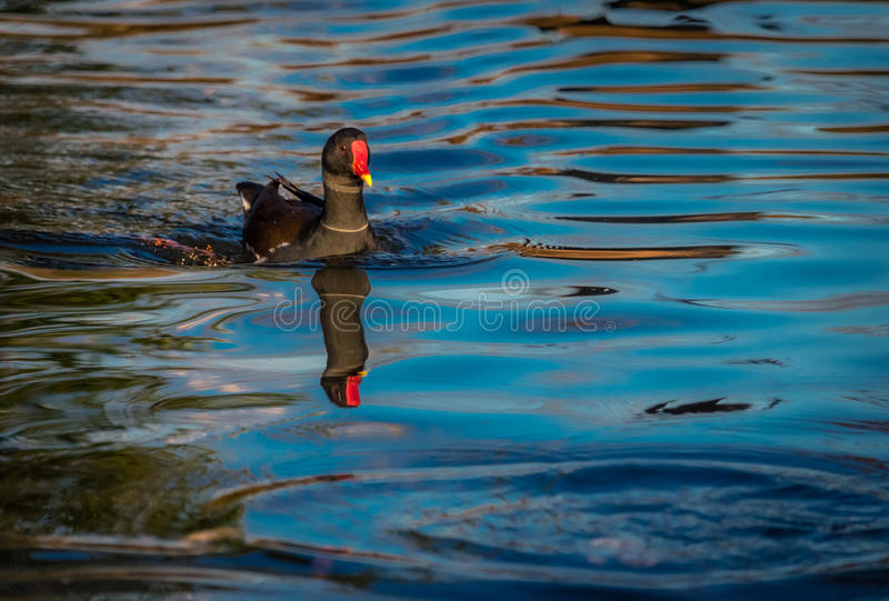 Duck swimming in a lake royalty free stock images