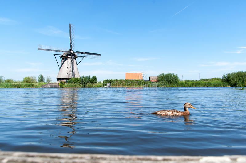 Duck swimming through a lake in Kinderdijk, the Netherlands royalty free stock photography