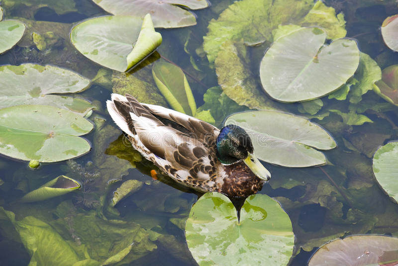 Duck swimming in a pond. With water lilies royalty free stock photo