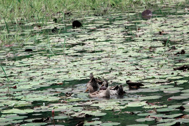 Duck are swimming in the pool capture at Guwahati royalty free stock images