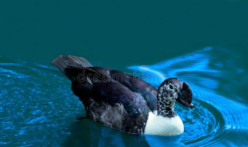 Duck Swimming porpora sbalorditivo sulle acque blu fresche fotografie stock