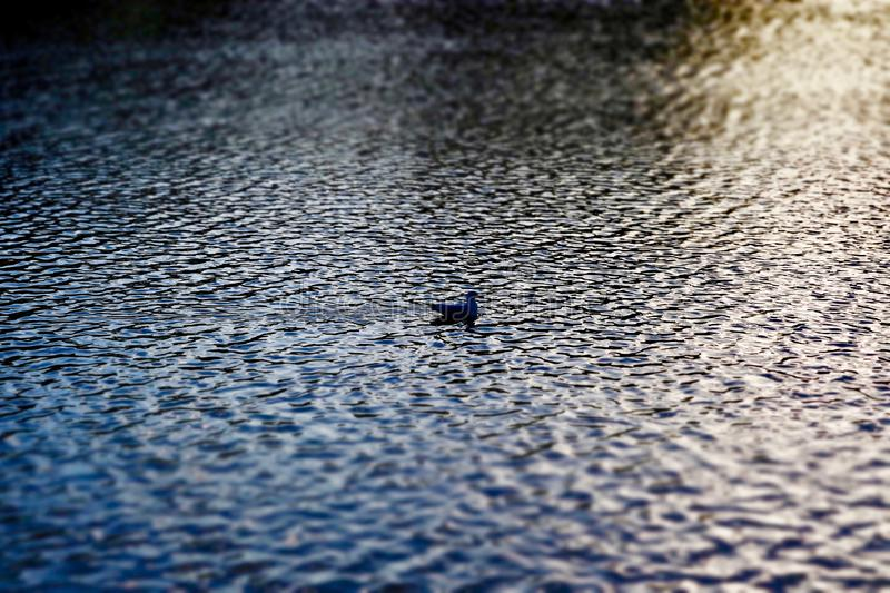 Duck swimming on rippled lake. A duck swimming on a rippled lake, seemed like total serenity so had to get a shot stock image