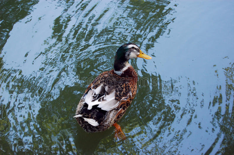 Duck swimming top view royalty free stock photography