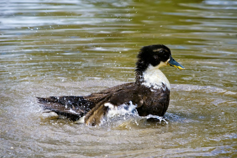Download Duck Swimming In The Water Stock Images - Image: 23932854