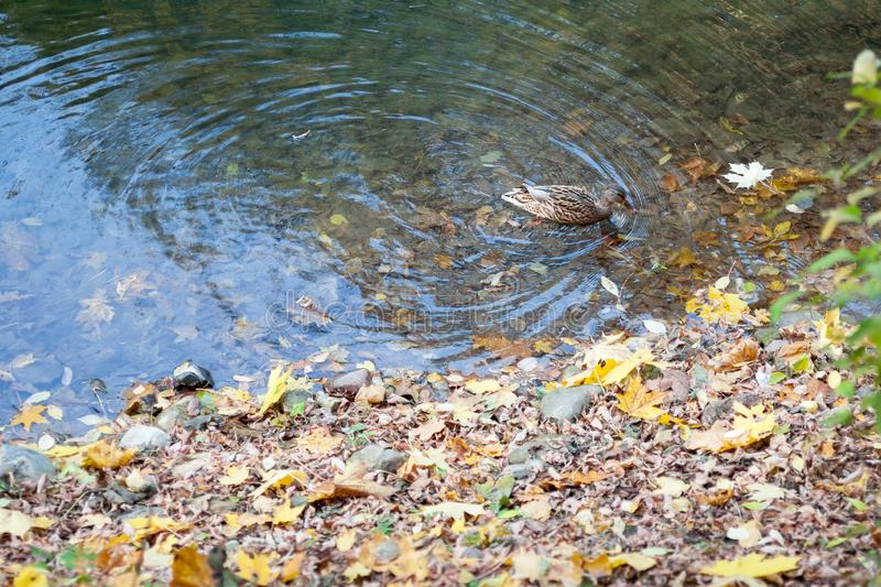 The duck swimming in water with autumn leaves near the shore royalty free stock images