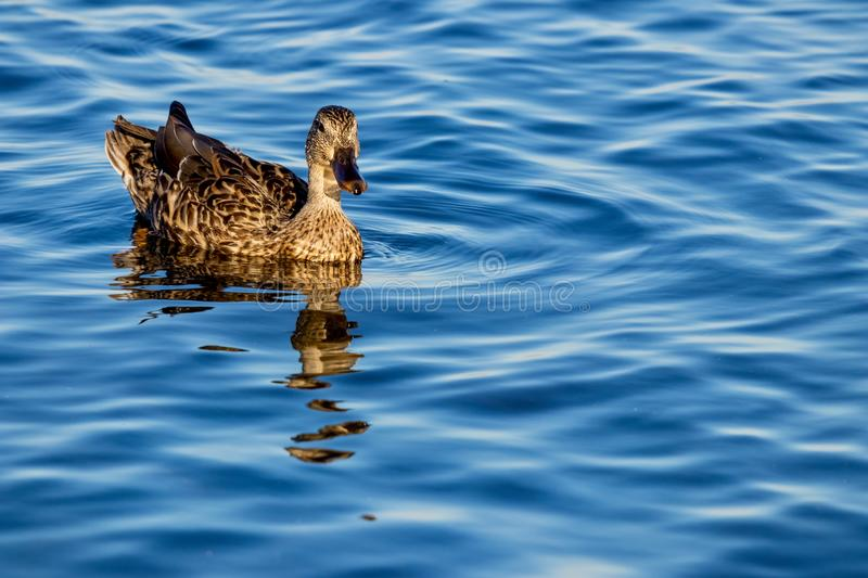 Duck swimming in water royalty free stock photography