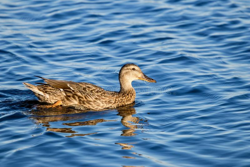 Duck swimming in water royalty free stock image
