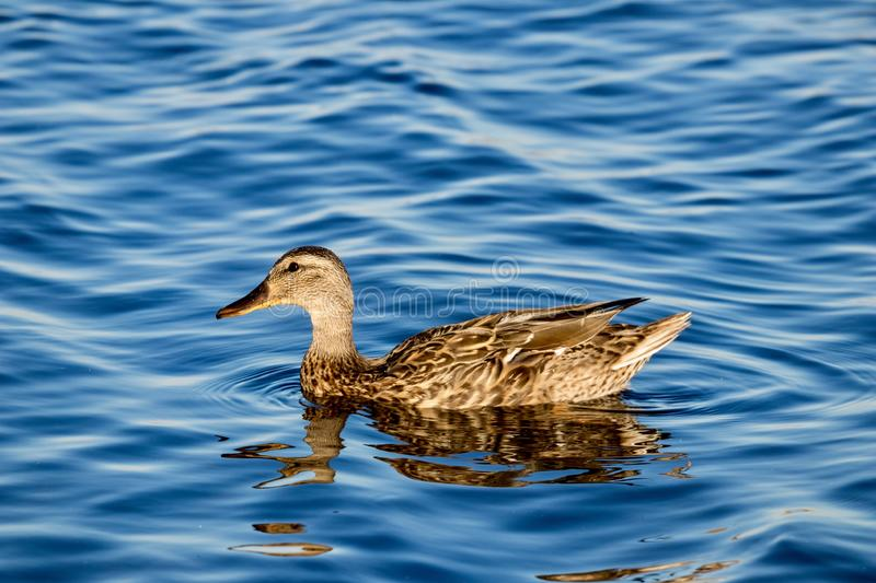 Duck swimming in water stock photo