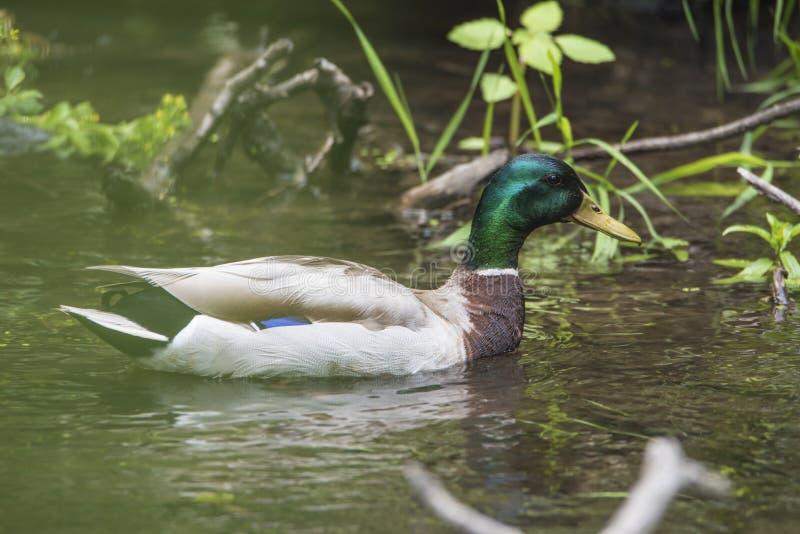 Duck Swims By amichevole immagini stock