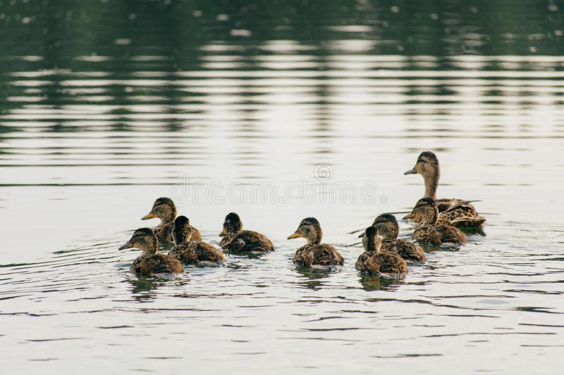 Duck swims on the lake with ducklings in a row stock photography