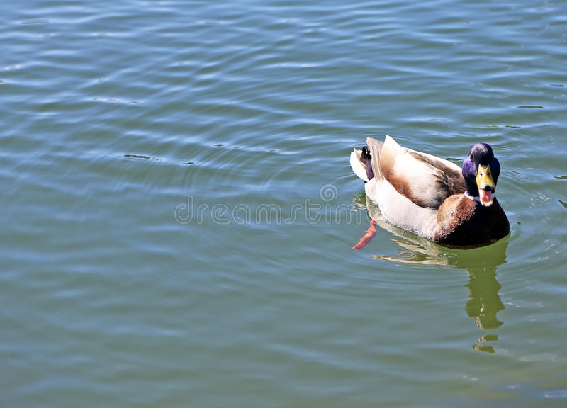 Duck that swims in the lake water with open beak stock images