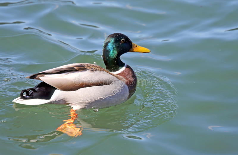 Duck that swims in the pond water. Big duck that swims in the pond water stock photo