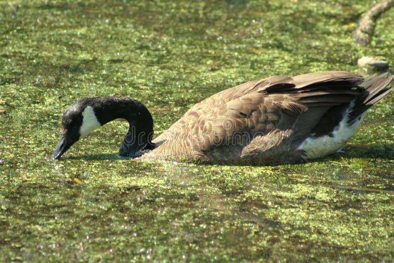 duck szlamowa fotografia stock
