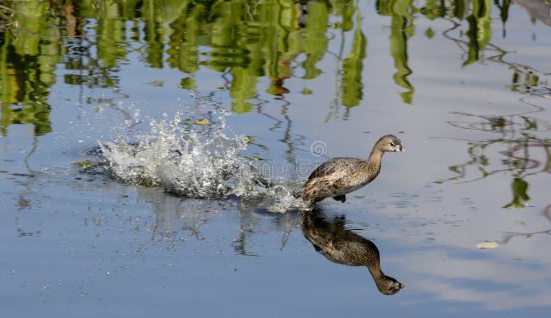 Duck Take Off di fischio Nero-gonfiato fotografia stock libera da diritti