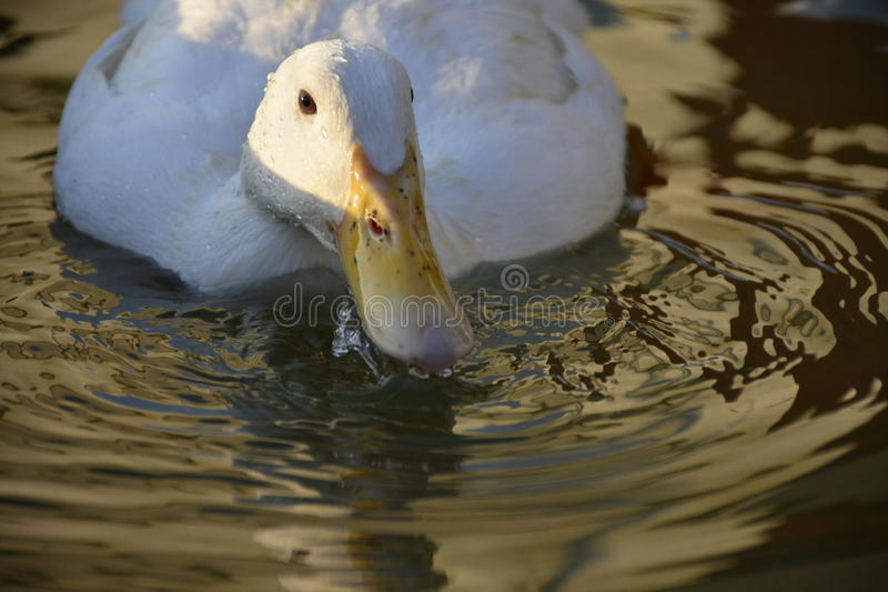 The duck taking a drink from the pool... stock photography