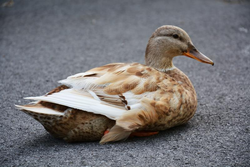 Duck taking a rest. A beautiful big duck taking a rest on the asphfalt pavement, a close up, a Treviso, Italy stock image