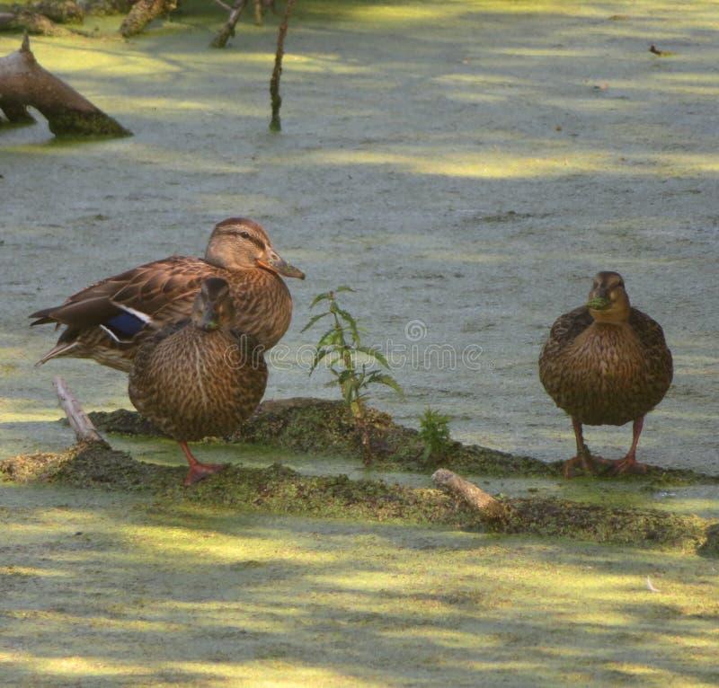 Duck talk on a fallen tree royalty free stock image