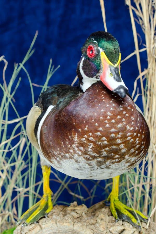 Duck Taxidermy Mount en bois photographie stock libre de droits