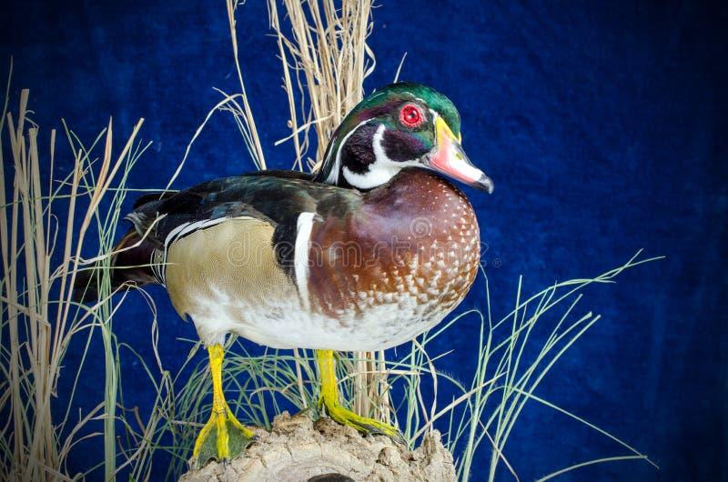 Duck Taxidermy Mount en bois image stock