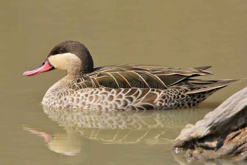 Duck, Teal Rosso-fatturato - fondo dell'uccello di selvaggina di bellezza - dall'Africa fotografia stock