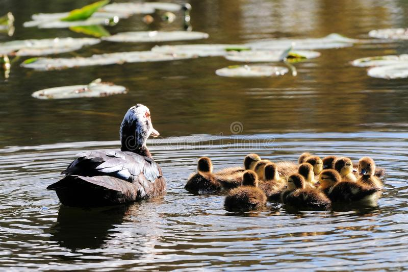 Duck with thirteen ducklings. Muscovy duck and her 13 ducklings in a lake of a South Florida golf course royalty free stock photo