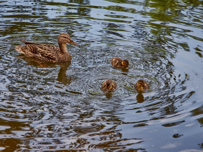 Duck with three ducklings swimming on the lake. Sammar day royalty free stock photography