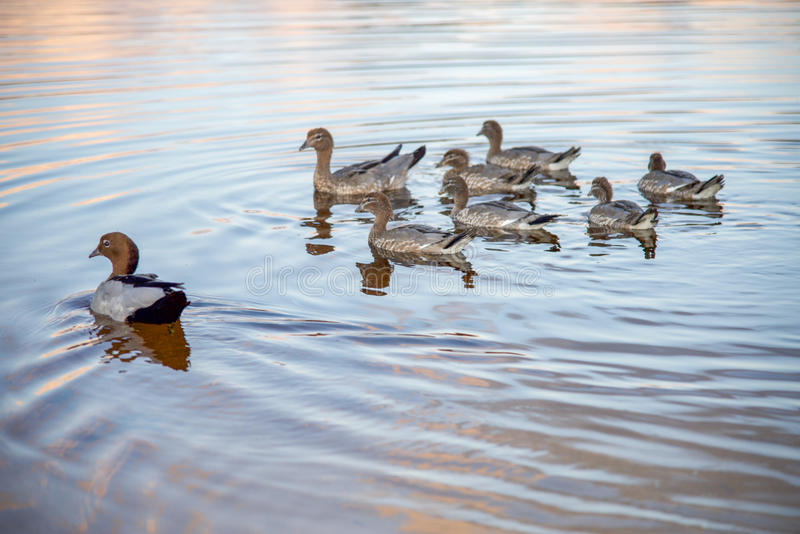 Duck Togetherness de madera imagen de archivo