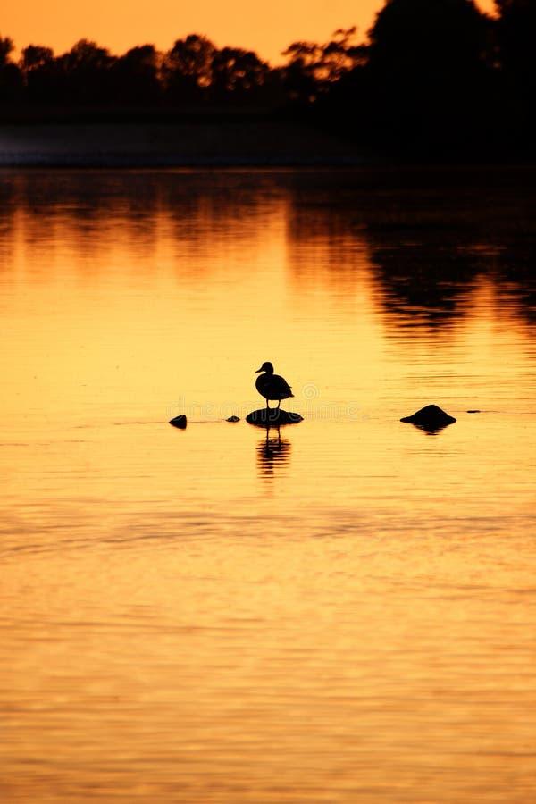Duck tutto il da solo immagine stock