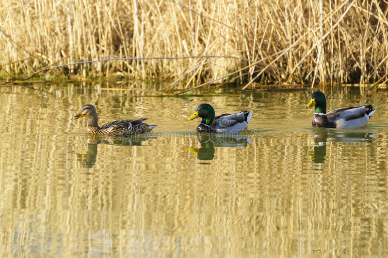 A duck and two Drake female and male Mallard duck lat. Anas platyrhynchos is a bird of the duck family Anatidae detachment o. F waterfowl Anseriformes. The best stock photo