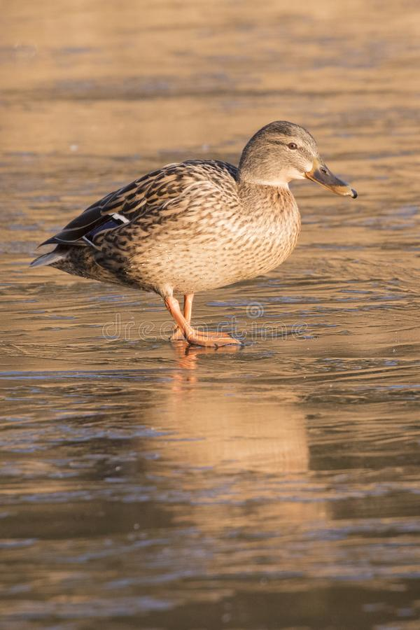 Download A duck walking on the ice stock image. Image of beak - 109421927