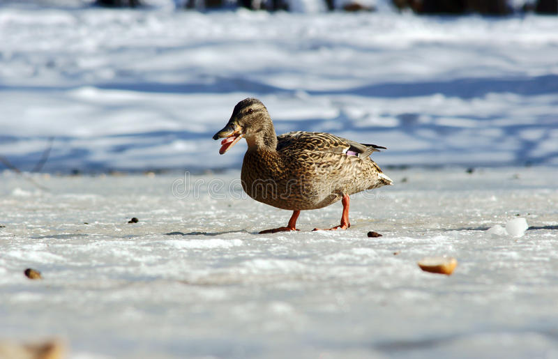 Duck walking on ice. In winter royalty free stock photography
