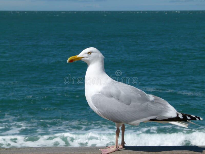 a duck royalty free stock photos
