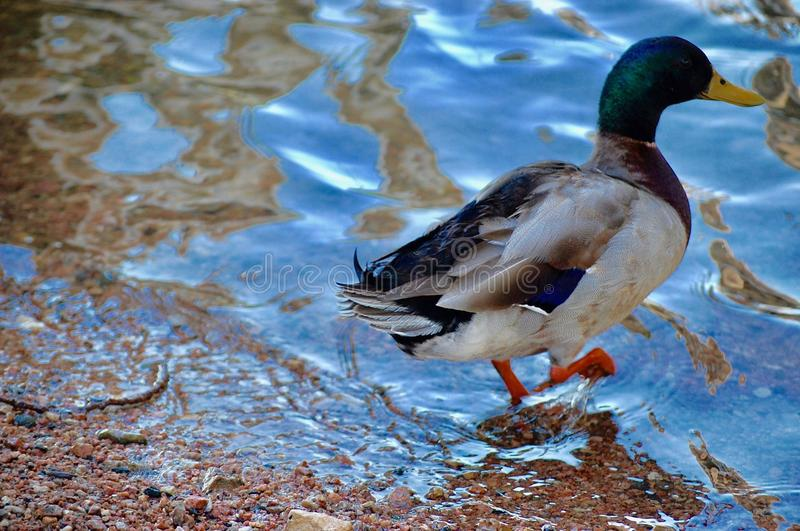 Duck Walking Into The Water stock photography