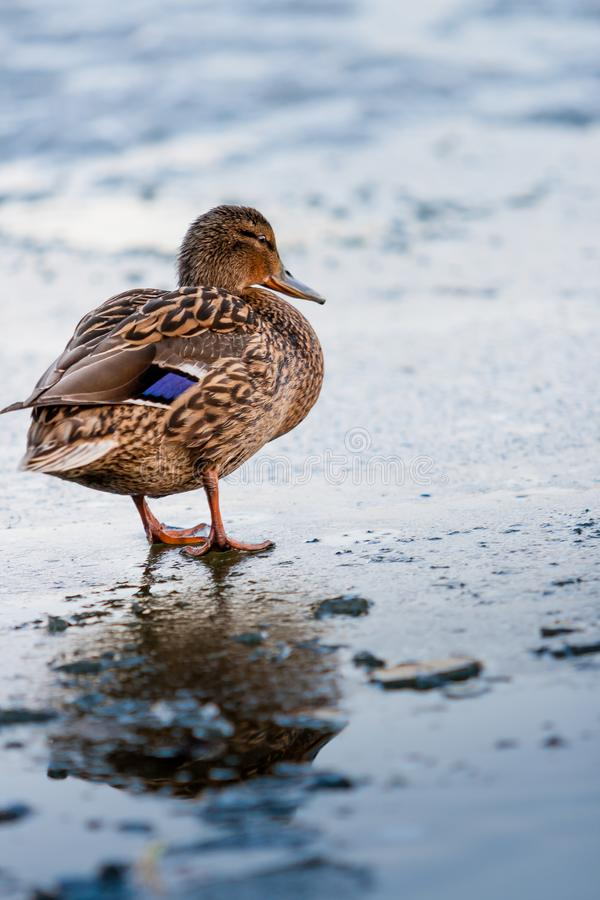 The duck walks along the melting ice of the pond in the park in the spring at sunset in April stock photo