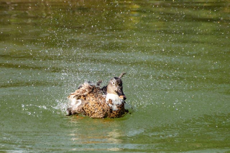 Duck washing, splashing and preening in a lake stock images