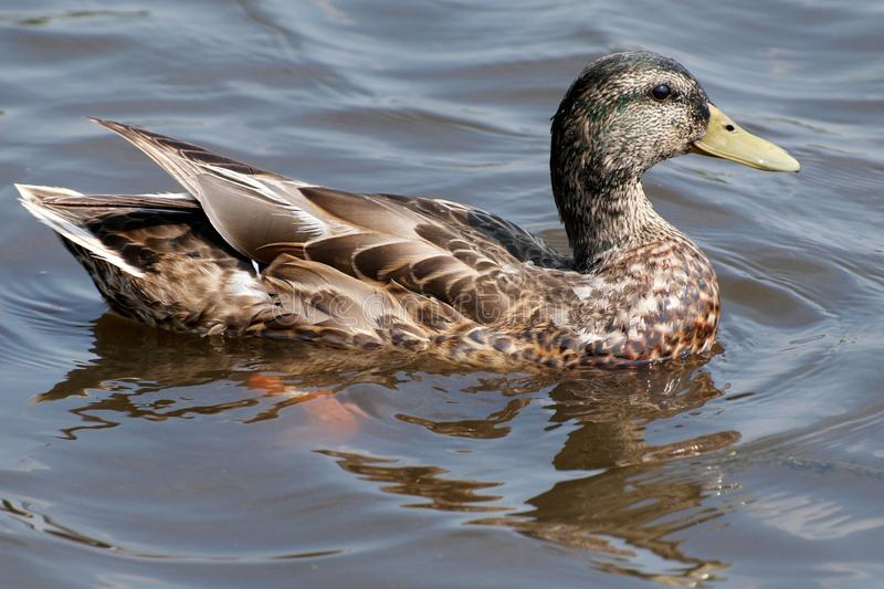 Duck on water royalty free stock photos