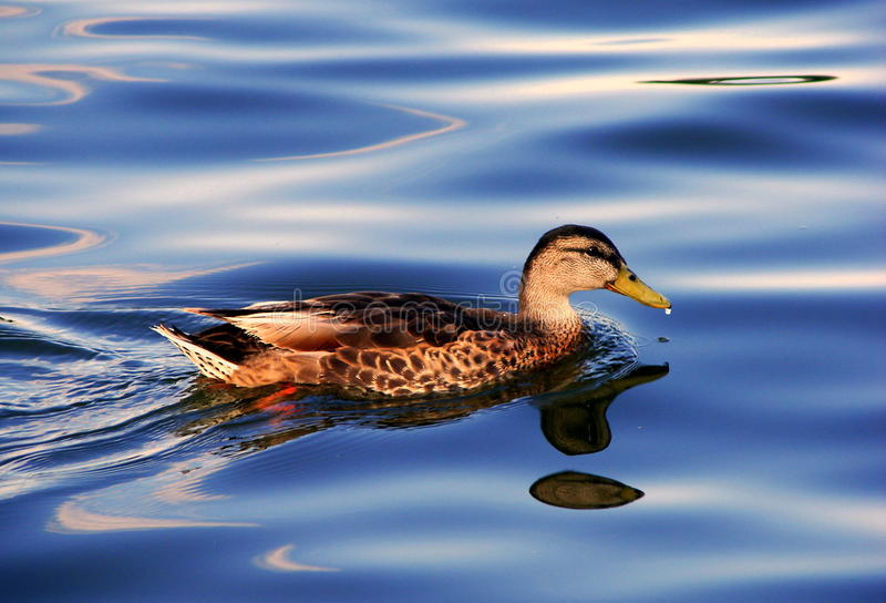 Download Duck on water stock photo. Image of duck, liquid, marine - 13050846