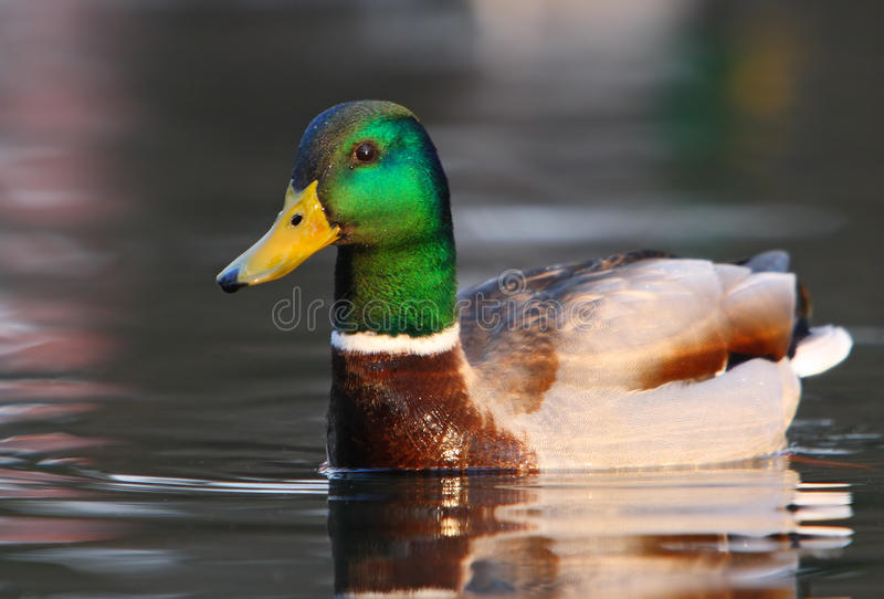Download Duck on Water stock image. Image of float, nature, duckling - 13534327