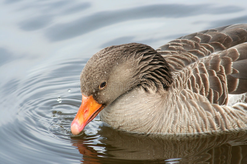 Duck on water. A duck on the water in the outside royalty free stock photography