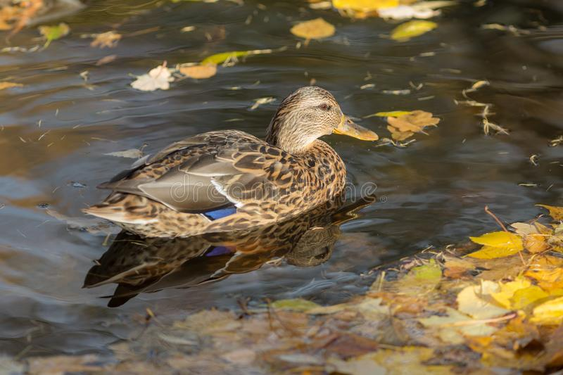 Duck in water with autumn leaves stock photo