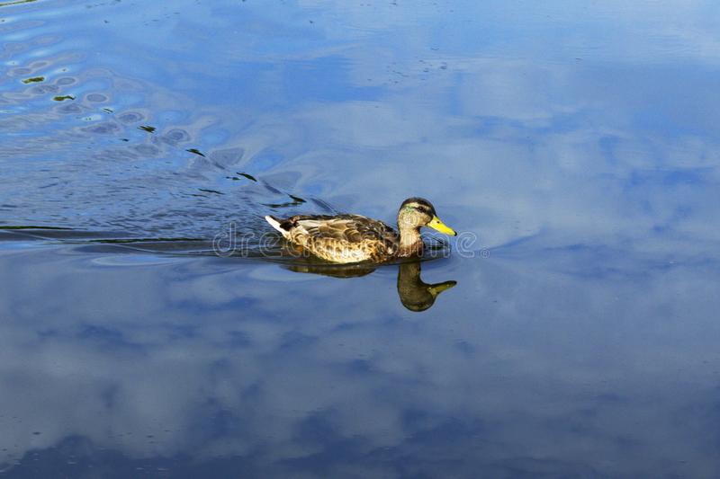 Duck on water royalty free stock image