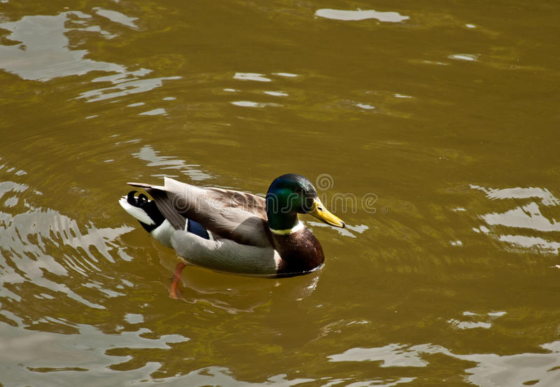 A duck on the water. The Beautiful duck swimming in the lake stock photos