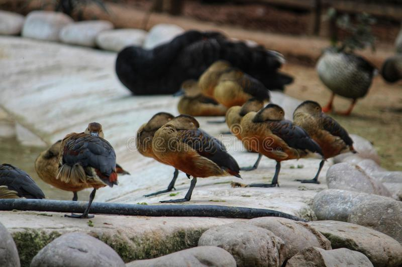 Duck water bird royalty free stock images