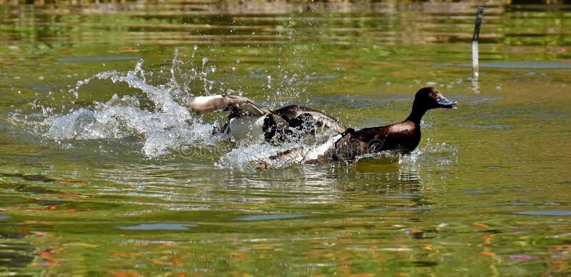 Duck, Water, Bird, Fauna Free Public Domain Cc0 Image