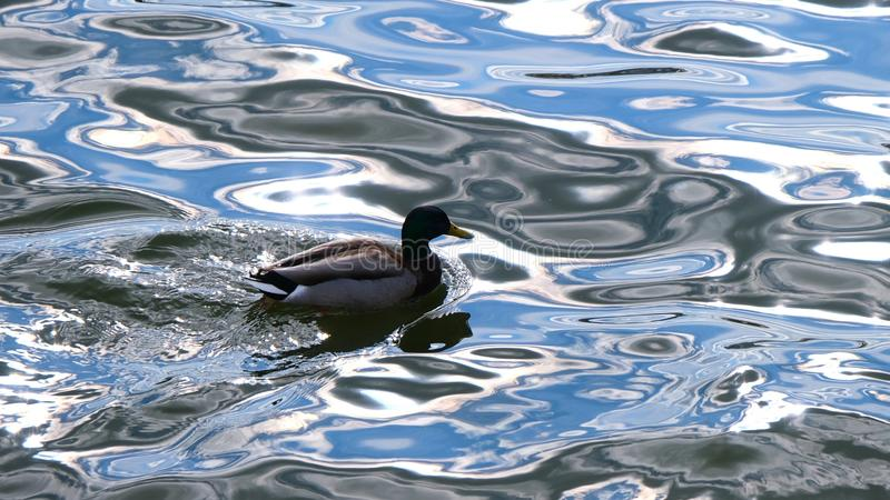 Duck water floats, reflection of the sky, waves royalty free stock photo