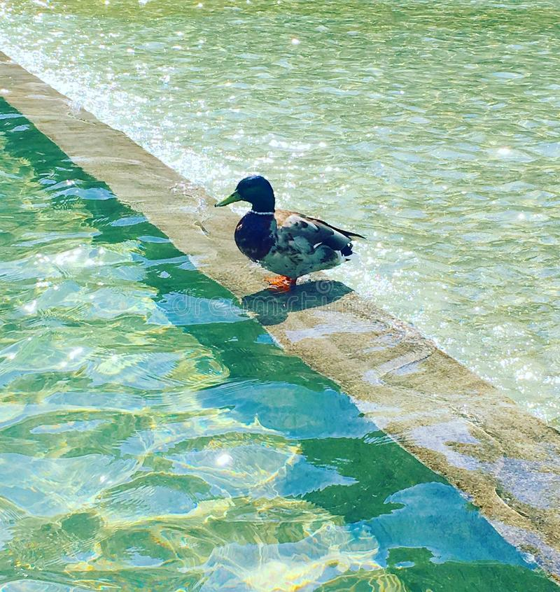 Duck water green swim stock images