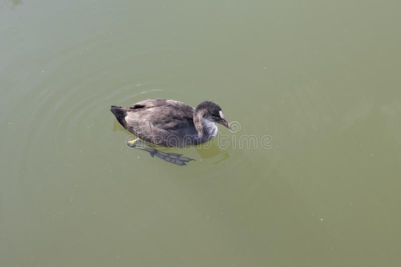 Duck on water in a lake. Summer royalty free stock image