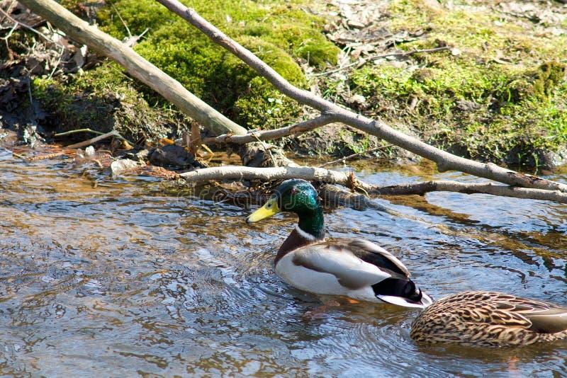 Duck water nature stock photo